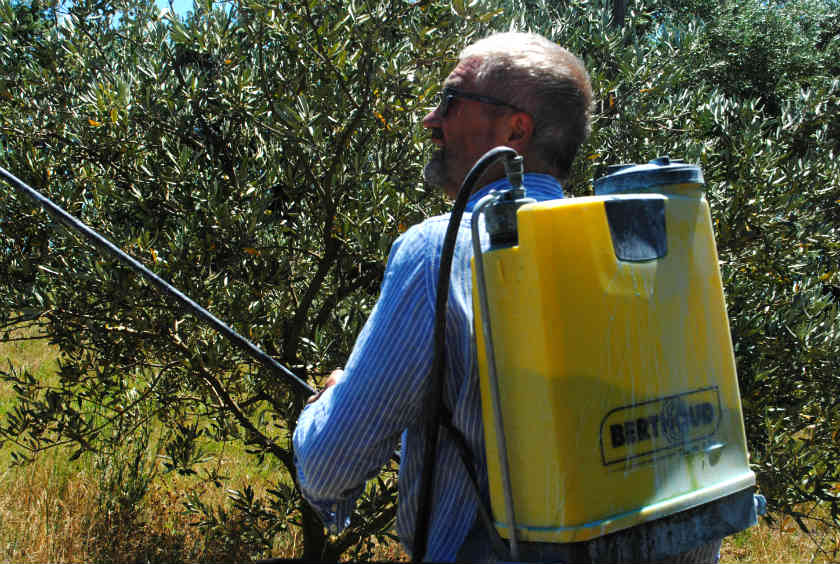 Controlling olive fruit fly - the natural way - La Genestière